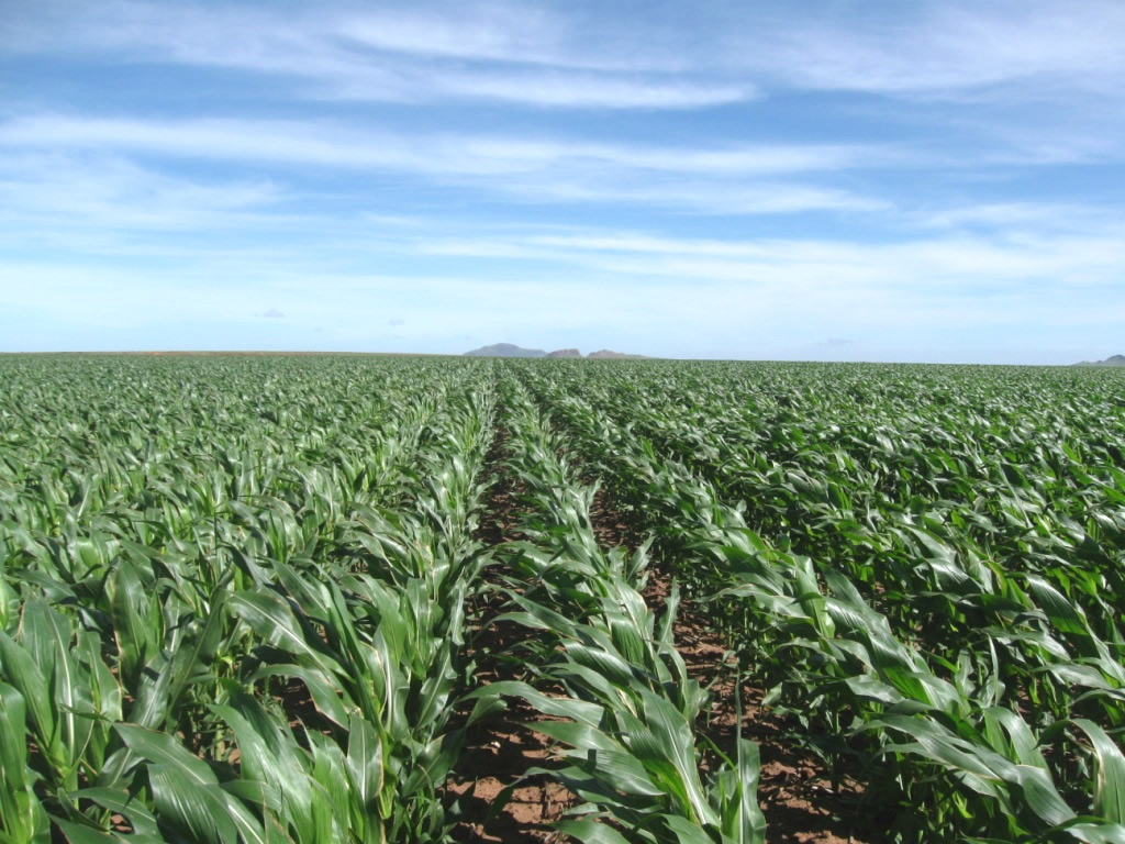 maize varieties for to arid conditions profitable farming by ics. Black Bedroom Furniture Sets. Home Design Ideas