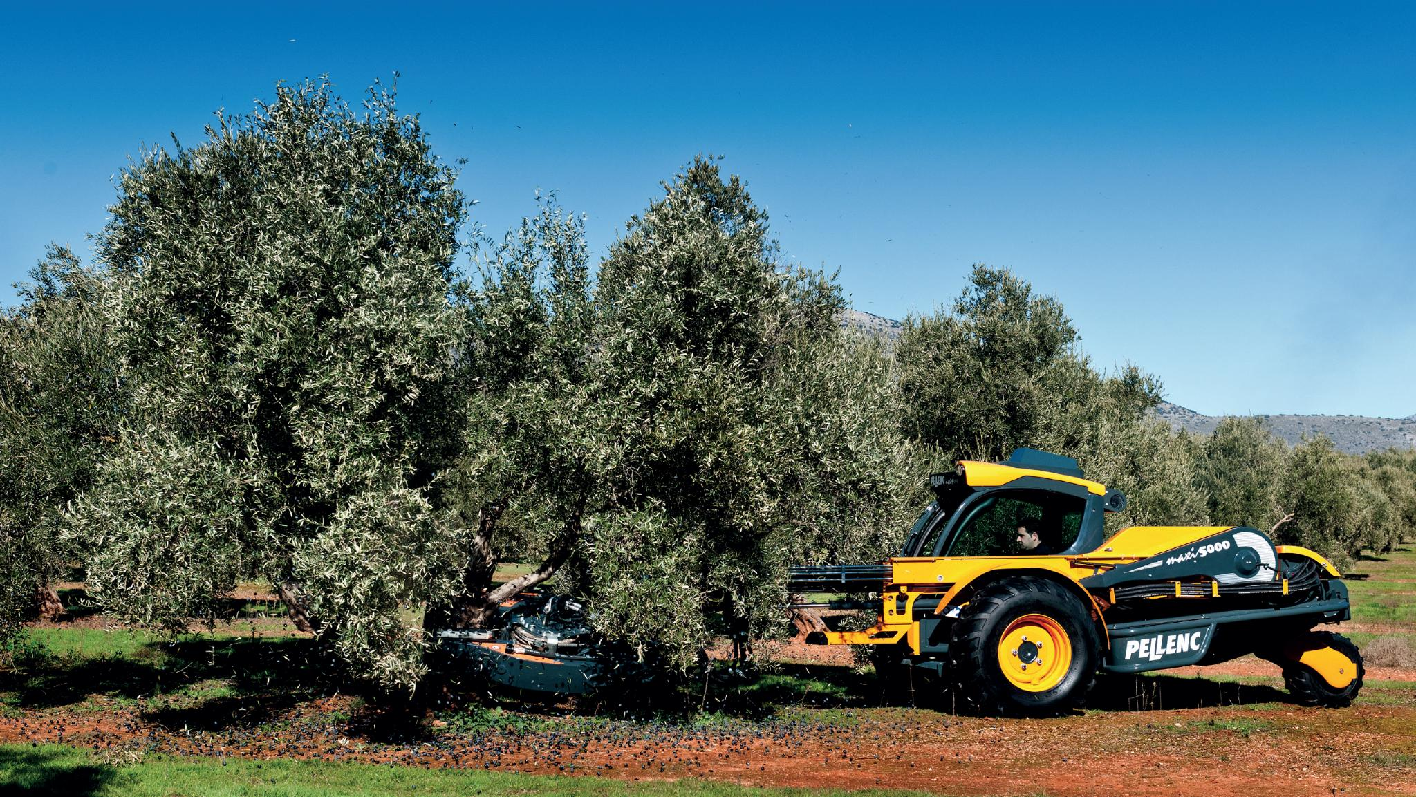 Harvesting olives and orchards