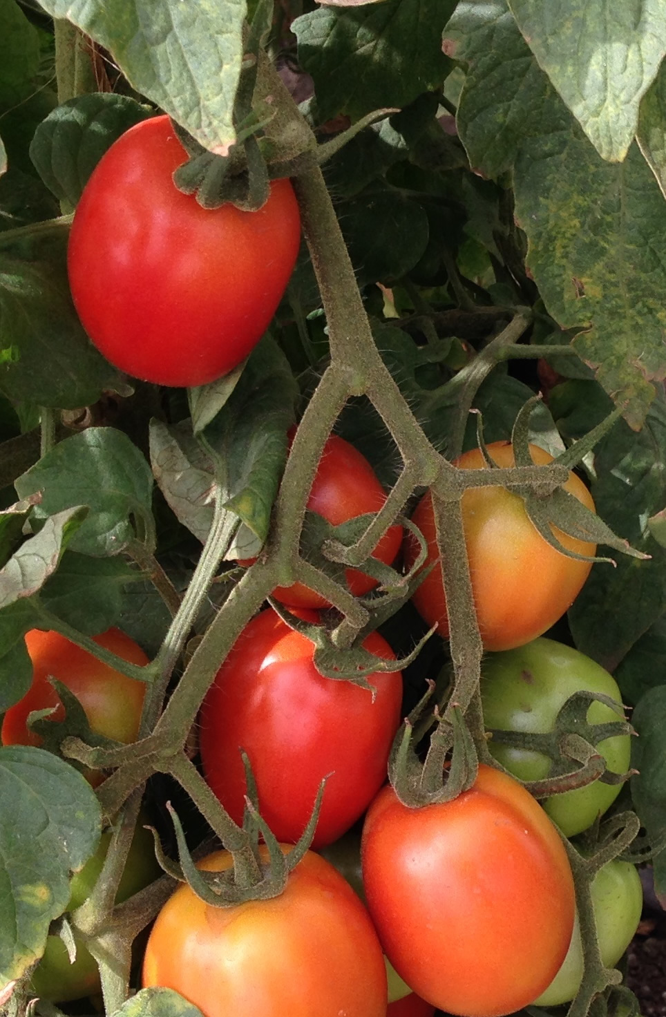 Hybrid Tomatoes for agriculture Africa